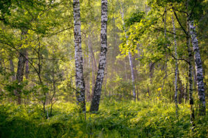 Sprängtickan – Skogens guld