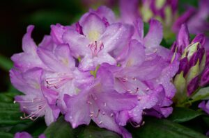 Rhododendron – En vacker och populär trädgårdsväxt