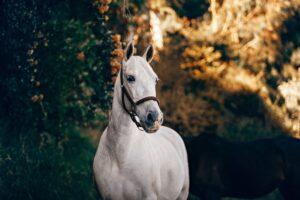 Akupunktur för hästar